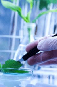 stevia plant in a petri dish