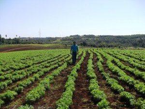 stevia-farm-paraguay