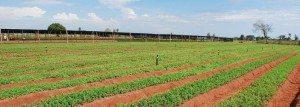 stevia-farming-banner
